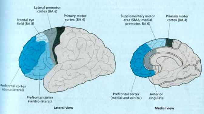 Figure 3: Pre-frontal areas of the brain associated with executive and behavioral function.